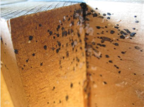 bed bug feces bed bug poop on wood