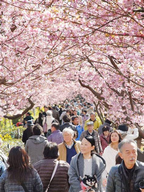 fiori di ciliegio giappone in giappone 232 arrivata la primavera bellissime foto di