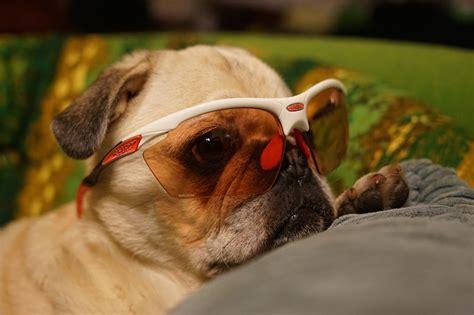 pugs sunglasses reviews pugs sunglasses reviews www panaust au