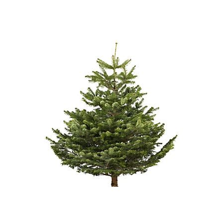 real christmas trees bq small nordman fir real tree departments diy at b q
