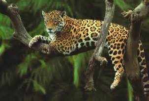 Wwf Jaguar Pin Jaguar Tier On