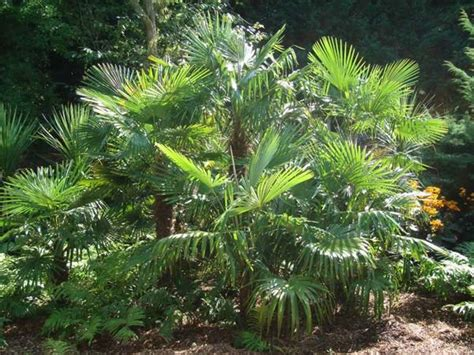 architectural plants hardy tropical plants for uk gardens