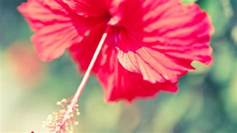 are hibiscus poisonous to dogs is hibiscus poisonous reference