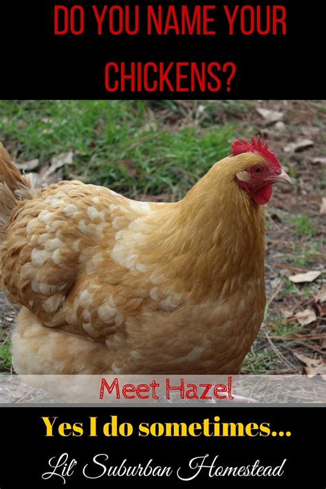 Do Chickens Need A Heat L by Do You Name Your Chickens Lil Suburban Homestead