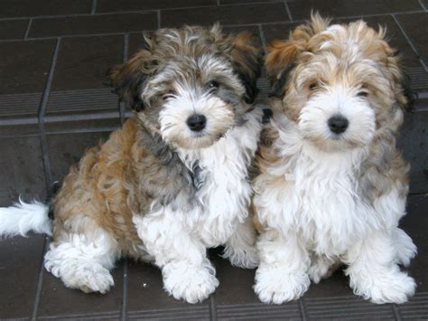 havanese breed havanese breed dogs information breeds picture