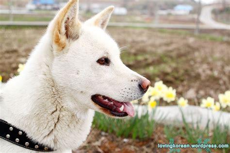 korean dogs korean jindo loving korean boyfriend in korea
