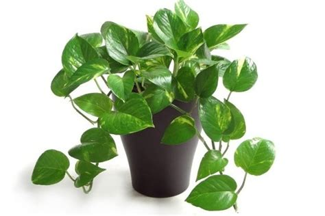 indoor vine 10 easy to grow indoor plants in india interior design ideas