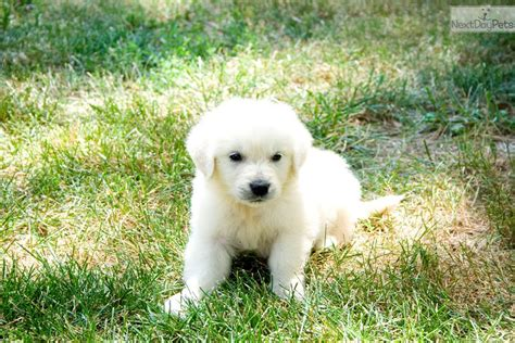 golden retriever breeders mo white golden retriever puppies for sale by breeders in missouri image breeds picture