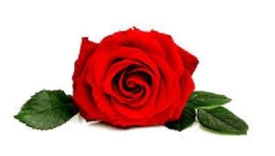 menggambar bunga mawar bagi pemula   langkah