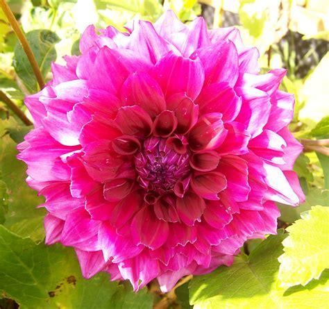 photos of colombia flowers dahlia dahlia plant care guide auntie dogma s garden spot