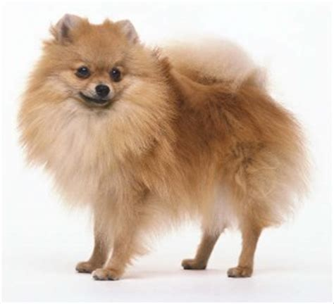 all about pomeranian puppies all about puppies store puppies for sale in ta bay area