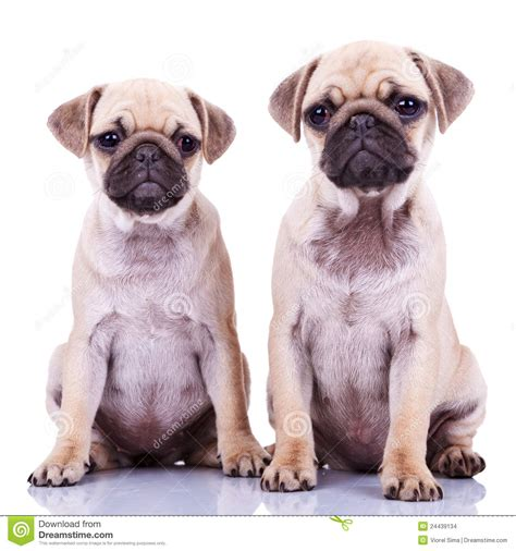 two pug puppies two pug puppy dogs stock images image 24439134