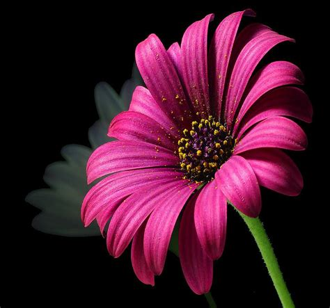beautiful flower images beautiful flower photograph by davor sintic