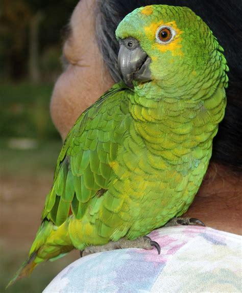 bilder speisesã len fichier papagaio f 234 mea refon 010907 jpg wikip 233 dia