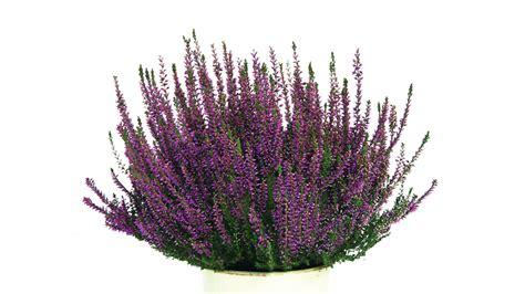 qualitree propagators  calluna vulgaris renate