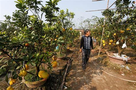 5 fruit tree the garden of five fruit trees in hanoi news vietnamnet