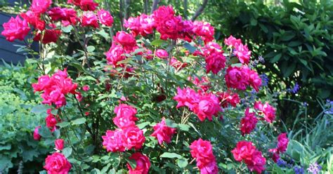 gardening and gardens easy care roses