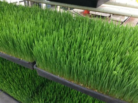 Wellness Wheat Grass 17 best images about hippocrates health institute 2013 on to be other and