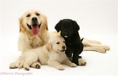 golden retriever breeder san diego white golden retriever puppies san diego dogs in our photo