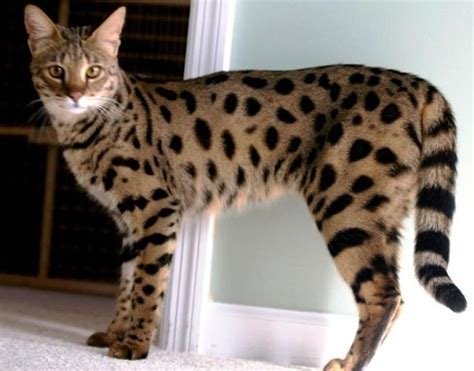 Jual Sisir Kucing Yang Bagus kucing termahal yang ada didunia beautiful cool cats
