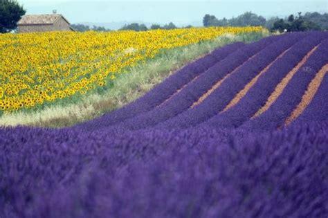 fiori di provenza 96 best fiori e frutti images on plants