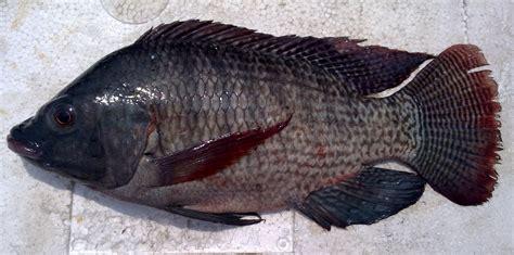 afiesh sp ikan nila oreochromis niloticus