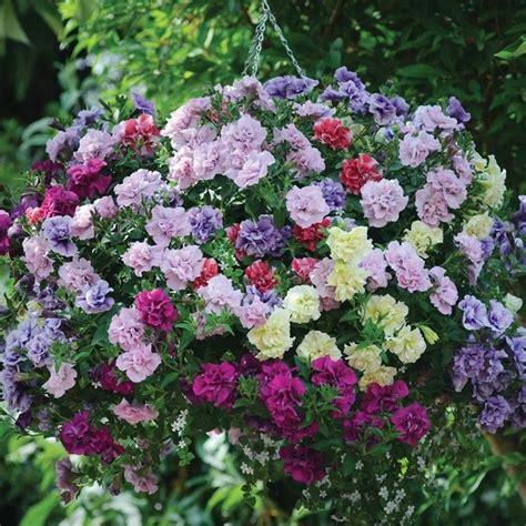 petunia fiore petunia piante annuali