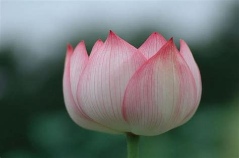 asian flower lotus  pink  whitejpg  res p hd