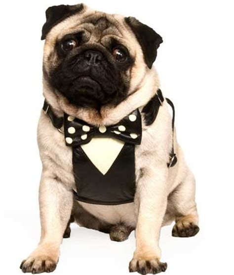 pug tuxedo harnesses for pugs images