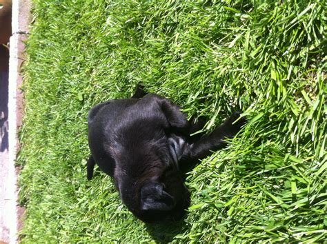 pets4homes pug puppies black pug puppies image search results breeds picture