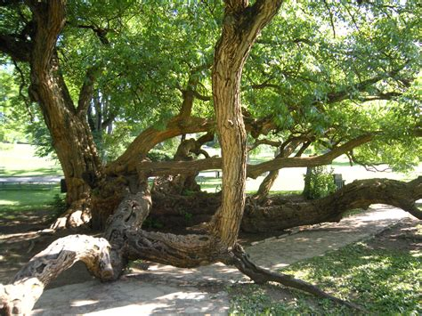 history trees trees in history osage orange in kentucky jud