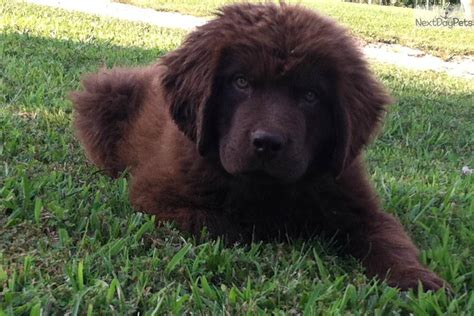 brown newfoundland puppies for sale newfoundland puppy for sale near louisville kentucky b8770c77 11f1