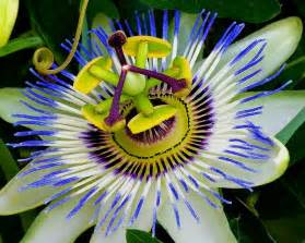 audrey allure sunday flowers blue passion flower