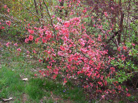 arbusti fioriti da giardino 2 bg mamma