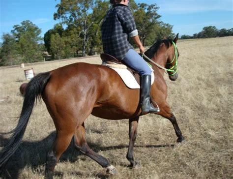 Giveaway Horses Qld - australia horses for sale adoption buy sell adpost com classifieds gt australia