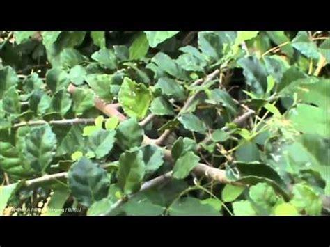 Nature Stek Pohon okulasi dolar vs beringin doovi
