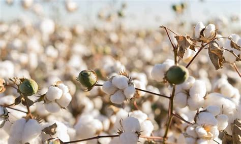 Don Lawija Organic Cotton these 6 industries don t want hemp legalized 183 high times