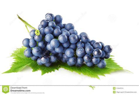 imagenes de uvas vector uva azul com fruta isolada folhas do verde imagens de