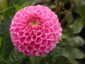 What Is A Dahlia Flower - flowers for flower lovers dahlia flowers pictures
