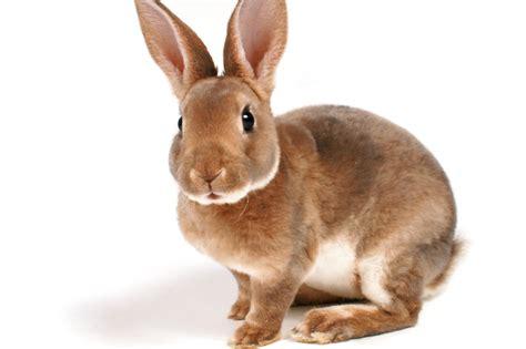 conigli nani alimentazione conigli nani alimentazione e consigli utili