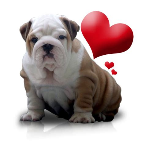 valentines day bulldog be my maybe next year the social type