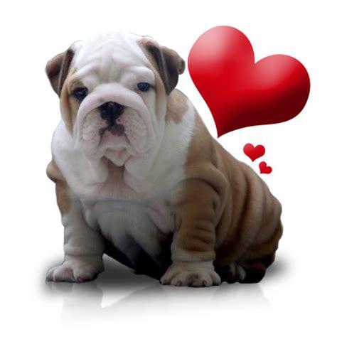 valentines day bulldog be my maybe next year social type