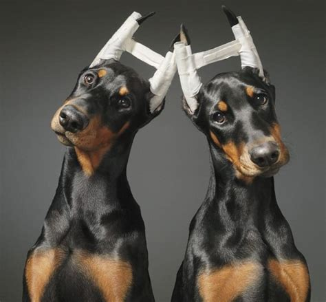 ear cropping dogs and ear cropping in dogs spot speaks