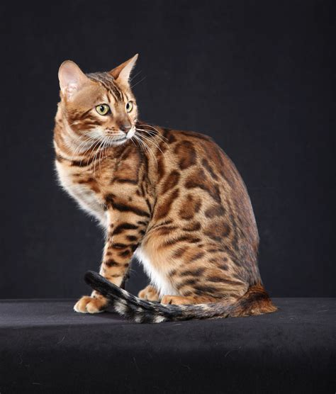cat and show international cat show will feature more than 200 breeds of cats from throughout the