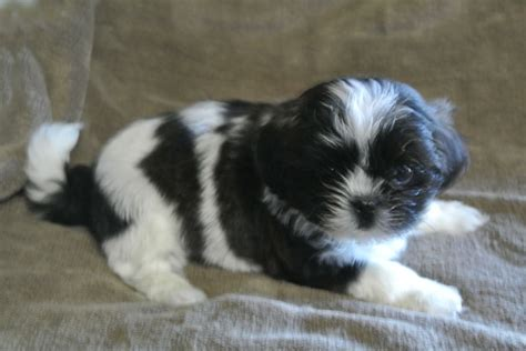 shih tzu cross maltese puppies malshi boy shih tzu cross maltese 4 months ashford kent pets4homes