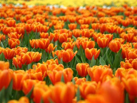 fiori arancioni fiori arancioni sfondo pictures