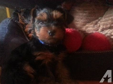 yorkie puppies for sale in philadelphia pa 8 week terrier puppies for sale in philadelphia pennsylvania classified