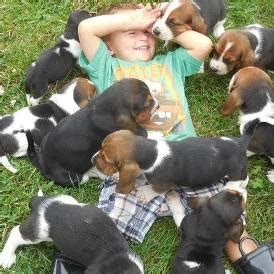 basset hound puppies for sale in illinois basset hound puppies for sale in illinois sandyhill basset hounds