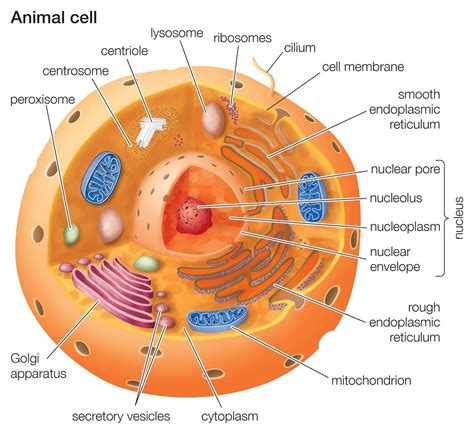 cell labeled diagram labeled cell diagrams high quality diagram site
