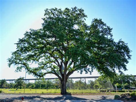 missouri maple trees home smartservices argentina